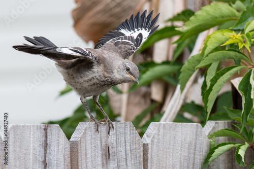 Cuadros en Lienzo Mockingbird on a wood fence wings spread about to fly.