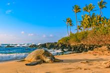 Endangered Hawaiian Green Sea ...