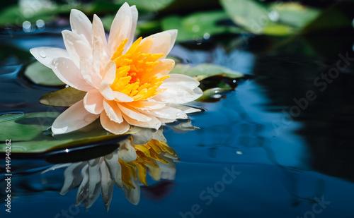 Foto  Lotus flower and Lotus flower plants