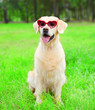canvas print picture - Golden Retriever dog in a sunglasses sitting on the grass on a summer day