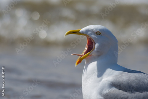 Seagull Calling Tongue Showing Tablou Canvas