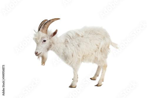 Stampa su Tela White goat isolated on white background.