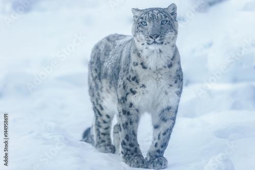 Foto auf Leinwand Luchs snow leopard