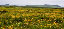 Alpine Flowers. Panorama. Moun...