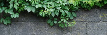 Background Of A Gray Stone Wall With Green Ivy Leaves In The Top Of The Photo