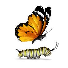 Plain Tiger Butterfly And Caterpillar