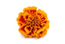 Marigold Isolated