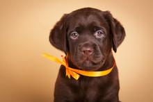 Brown Labrador Retriever Puppy...