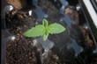 Small green sprout marijuana medicinal