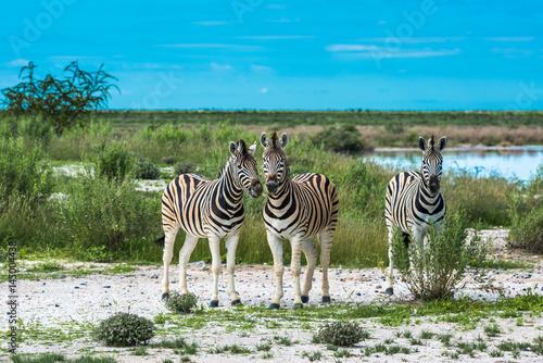 Zdjęcie XXL Zebry w Etosha parku narodowym, Namibia