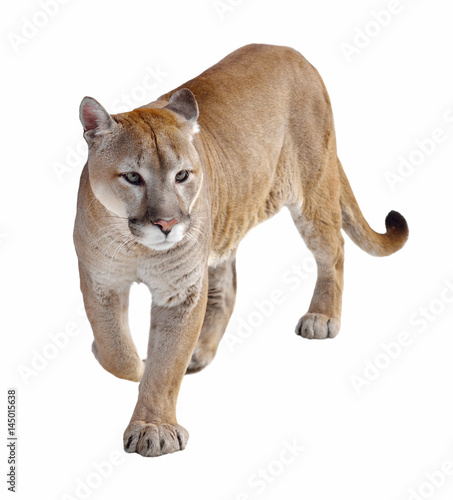 In de dag Puma Cougar (Puma concolor), also commonly known as mountain lion, puma, panther, or catamount