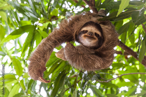 Stampa su Tela  The sloth on the tree