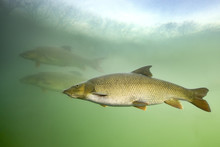 Barbel (Barbus Barbus) Underwater Close Up Photography Of A Nice Fish. Freshwater Fish In The Clean River And  Green Bacground. Wildlife Animal.