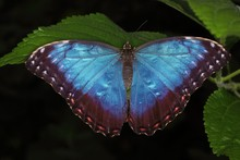 Peleides Blue Morpho (emperor)...