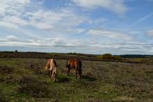 Pony New Forest National Park Hampshire UK