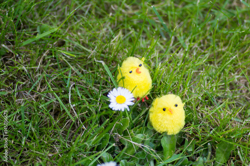Photo  Easter chicks amongst daisy