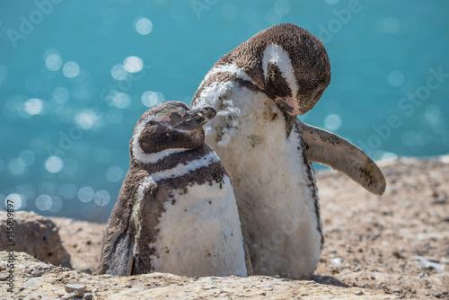 Obraz na plátně Magellanic penguins at the nest, peninsula Valdes, Patagonia