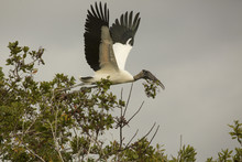 Wood Stork Flying With Nesting...