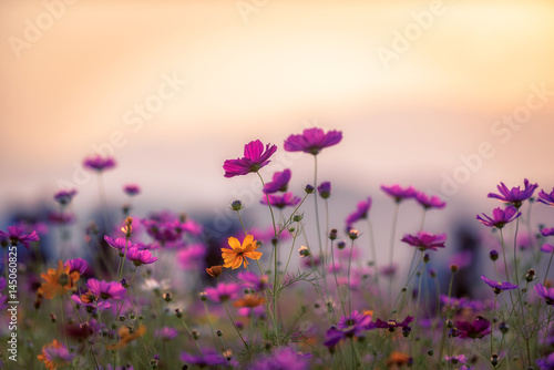 Foto auf Gartenposter Kosmos Landscape of nature background and beautiful pink and red cosmos flower field with sunset. vintage color tone