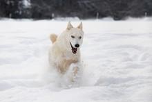 Siberian Husky Dog Running In ...