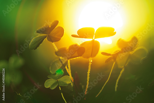 Clover leaf against sunset sun