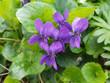 Veilchen, Viola odorata