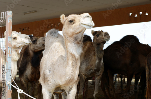Fotobehang Midden Oosten Close up of camels at the camel market, Al Ain, United Arab Emirates.
