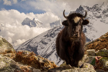 Yak Im Himalaya, Nepal
