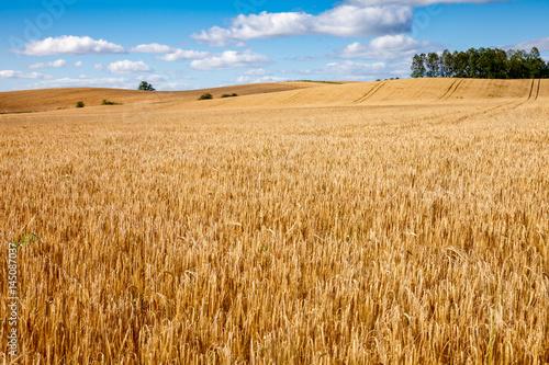 Foto auf Gartenposter Landschappen Ripe golden barley field in Scotland