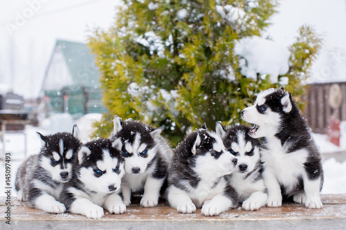Group of small Husky puppies. blue eyes. Canvas Print