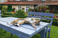 Happy Cat Lying On Table In Ga...