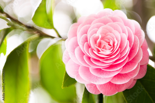 camellia blooming in the spring Fototapete