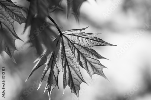 Fototapeta na wymiar Spring background art young maple leaves. Beautiful young maple leaves in backlight on blue sky background at springtime. Sunny day. Shallow depth. Black and white. of field.