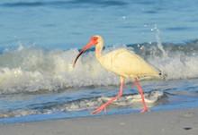A White Ibis Walking On The Beach