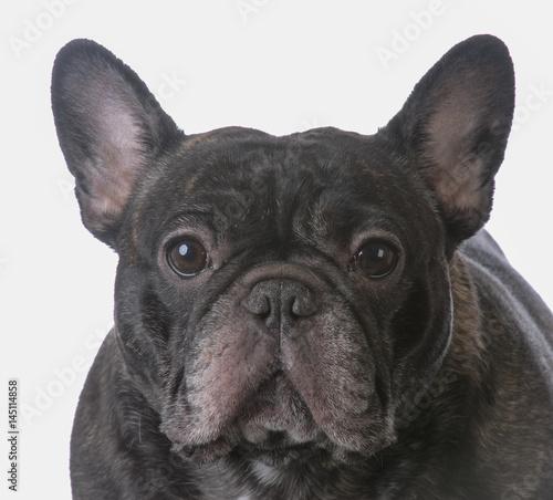 Deurstickers Franse bulldog brindle french bulldog