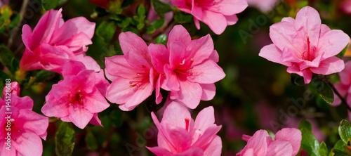 Plakat Sztandar świezi jaskrawi różowi azalia okwitnięcia