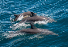 Family Of Three Dolphins Swimm...