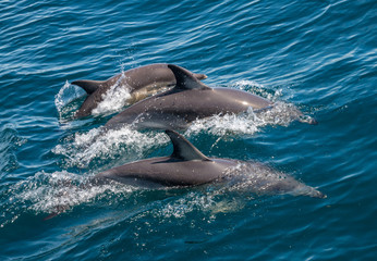 Obraz na Plexi Family of three dolphins swimming together