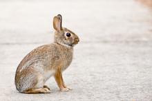Cottontail Bunny Rabbit Sittin...