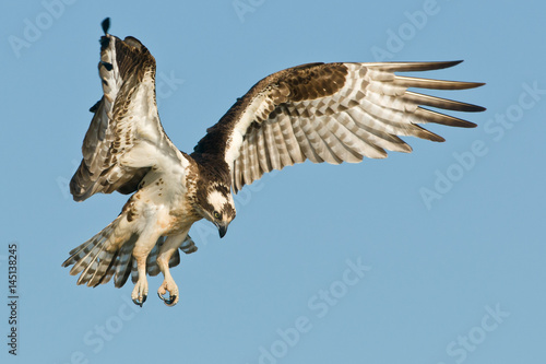 Photo  Osprey landing against a blue sky