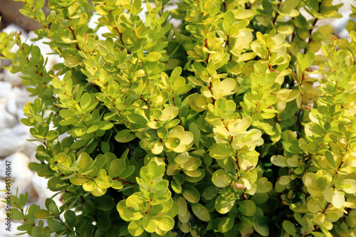Cultivar Thunbergs barberry (Berberis thunbergii Golden Rocket) in the rocky g Wallpaper Mural