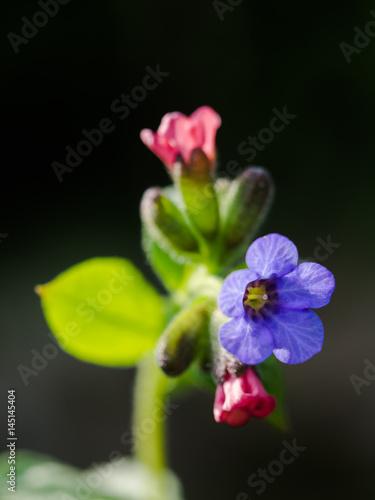 Fotografie, Obraz  Nahaufnahme eine Blüte des gefleckten Lungenkrauts, Pulmonaria officinalis