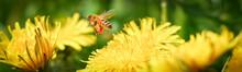 Biene Mit Befüllten Pollentas...