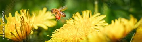 Poster Bee Biene mit befüllten Pollentaschen fliegt Löwenzahnblüte an