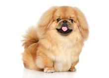 Pekingese Happy Dog