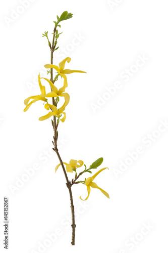 Fotografie, Obraz Twig of Forsythia. Twig of Forsythia on a white background.