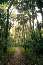 Path Among Palm Trees And  Saw Palmetto. Highlands Hammock, Florida State Parks, USA