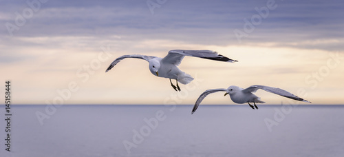 Canvas Print Two Seagulls flying over the sea at sunset