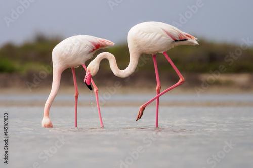 Foto op Plexiglas Flamingo Greater Flamingoes (Phoenicopterus roseus) in Camargue