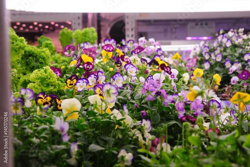 Deurstickers Pansies Hydroponic Viola